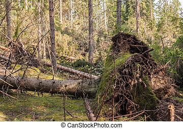 après, ouragan, forêt