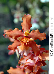 Apricot Big Island Orchid - Beautiful apricot colored orchid...