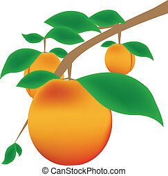 Apricots on the tree branch, vector illustration.