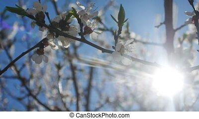 Apricot branch blossom flower spring sunlight glare nature landscape video
