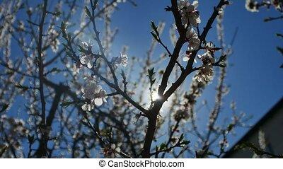 Apricot branch blossom flower spring sunlight video glare...