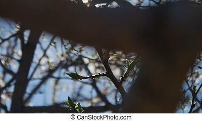 Apricot branch blossom flower spring video sunlight glare...