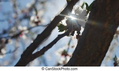 Apricot branch blossom flower spring sunlight glare nature...