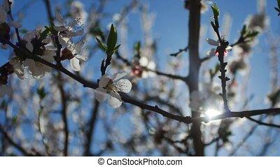 Apricot branch blossom flower spring sunlight glare video...