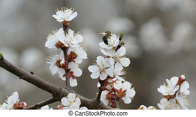 Apricot branch blossom flower spring nature landscape