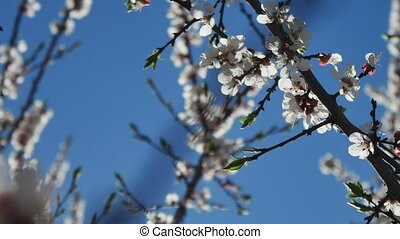 Apricot branch blossom flower video spring sunlight glare...