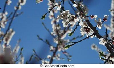 Apricot branch blossom flower video spring sunlight glare...