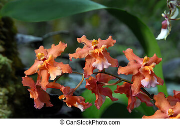 Apricot colored Orchids