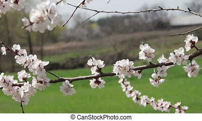 Apricot Flower Blooming in Spring