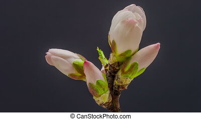 Apricot flower blossoming