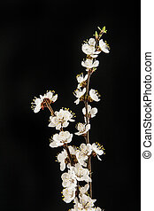 Apricot flower on a black background