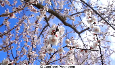 Apricot Flower on Tree