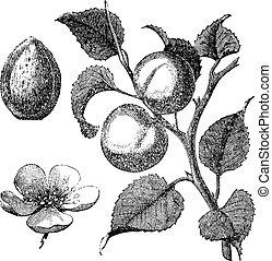 Apricot flower, tree and kernel old engraved illustration -...