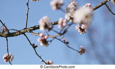 Apricot flower - White apricot flowers on a background of...