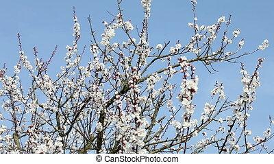 apricot flowers, apricot tree blossom.