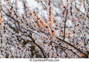 apricot flowers in the first rays of the spring sun