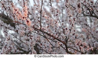 apricot flowers in the first rays of the sun, change of...