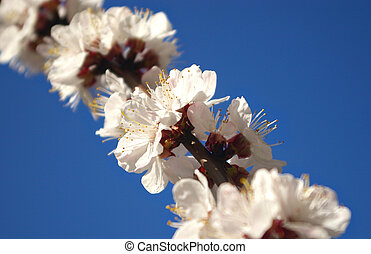 Apricot flowers on the blue sky background