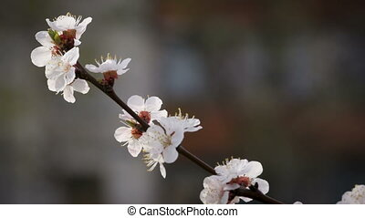 Apricot flowers on the branch, closeup - Apricot flowers on...