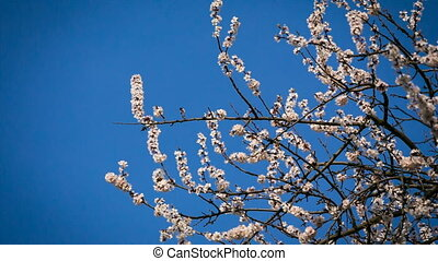 Apricot flowers on the tree at the sky background - Apricot...