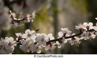 Apricot flowers on the tree branch, closeup - Apricot...