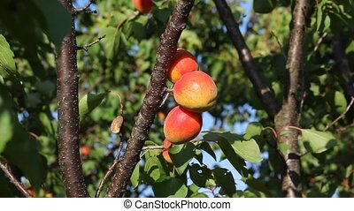 Apricot fruit at tree in orchard