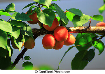 apricot fruits ripe