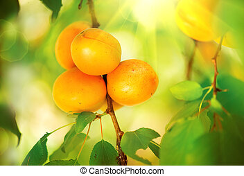 Apricot Growing. Ripe Apricots in Orchard. Organic Fruits
