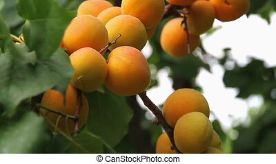 Apricot harvest - Branch of a tree studded with apricot...