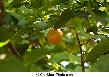 Apricot on a tree with an ant