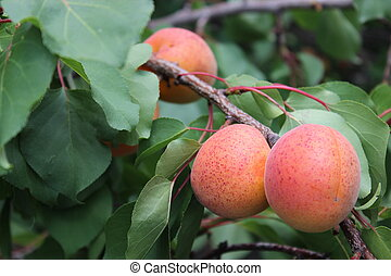 Apricot on tree branch