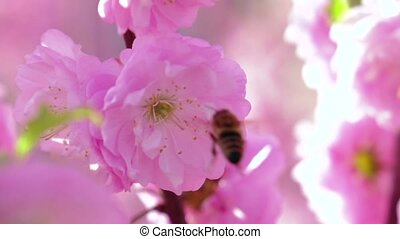 Apricot Orchard. Apricot flowers blooming in springtime. Close up. Slow motion