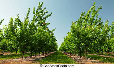 Apricot Orchard - Ripe apricots on tree in the orchard,...