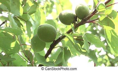 Apricot - not yet ripe apricots.