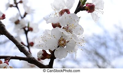 Apricot tree blossom flowers gently stirred by breeze in...