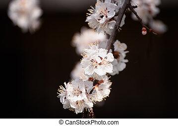 Apricot tree flower