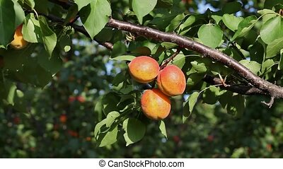 Apricot tree, fruit at branch - Apricot fruit at tree branch...