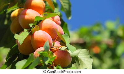 Ripe apricots on the branch ready for harvest