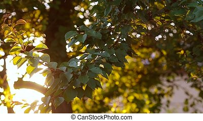 Apricot tree with fruits in the summer. - Apricot tree with...