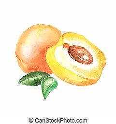 apricot., vattenfärg, vektor, bakgrund, vit, målning