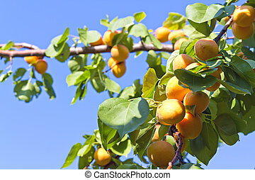 apricots on a tree branch