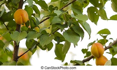 Apricots on a tree branch.