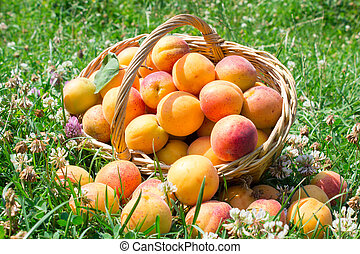 apricots on the grass with a basket