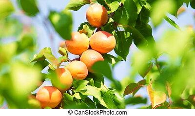Apricots on Tree