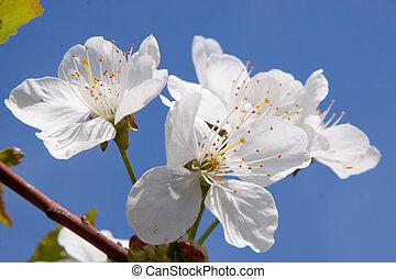 aprikos, blomningen, på, den, filial