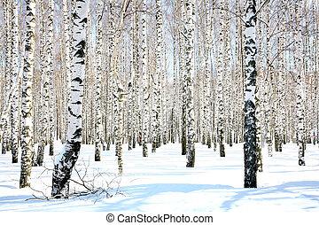 April birch grove in sunlight