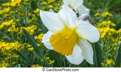 April blooming Narcissi flowers , yellow with spring flower...
