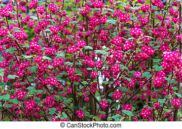 April blooming red flowering currant in spring garden bokeh background