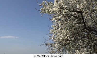 April blossoming plum on the blue sky background. 4K - April...