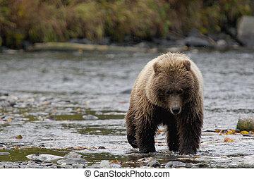 aproximação, urso